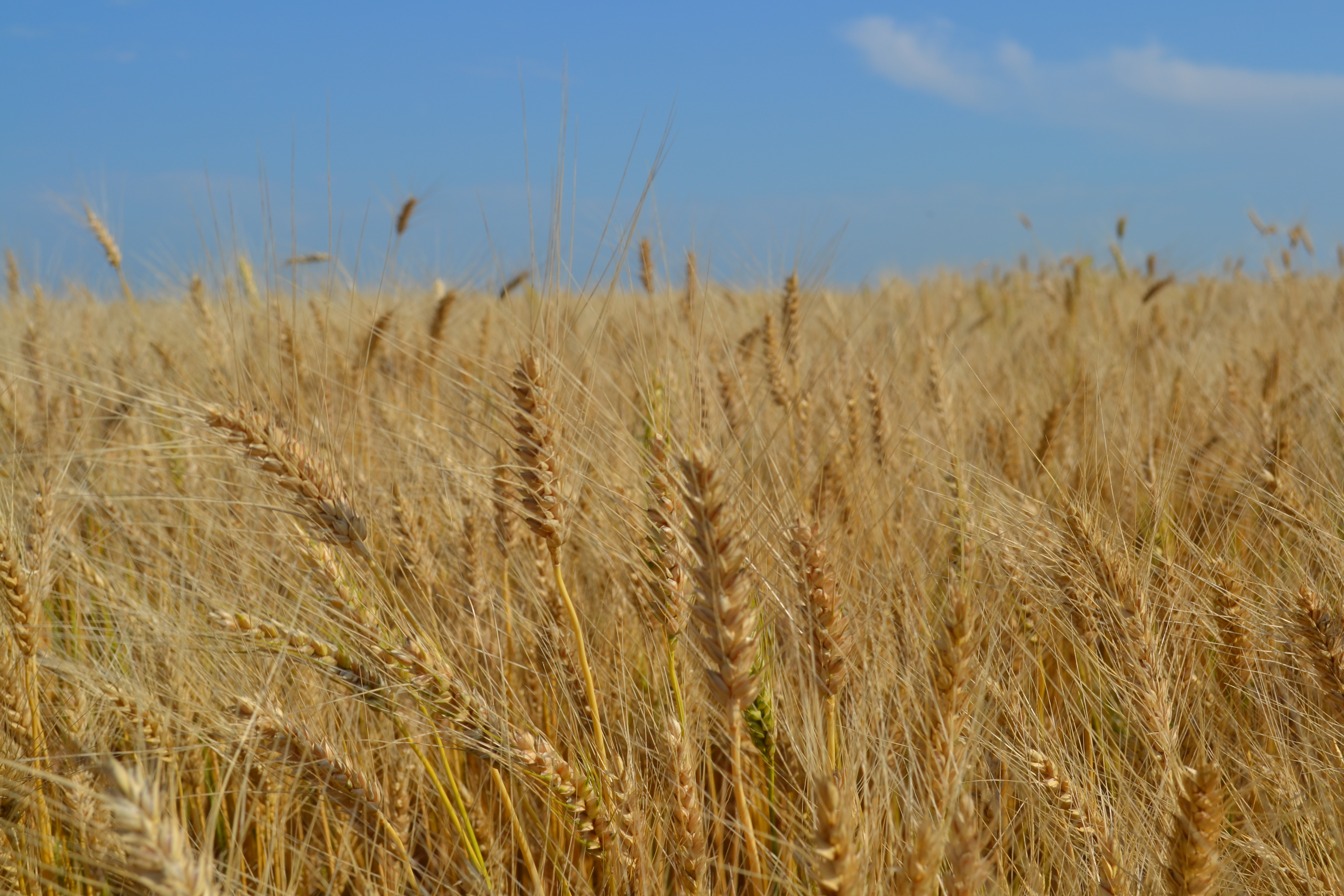 Bringing in the harvest: Winter wheat | Rural Route Ramblings