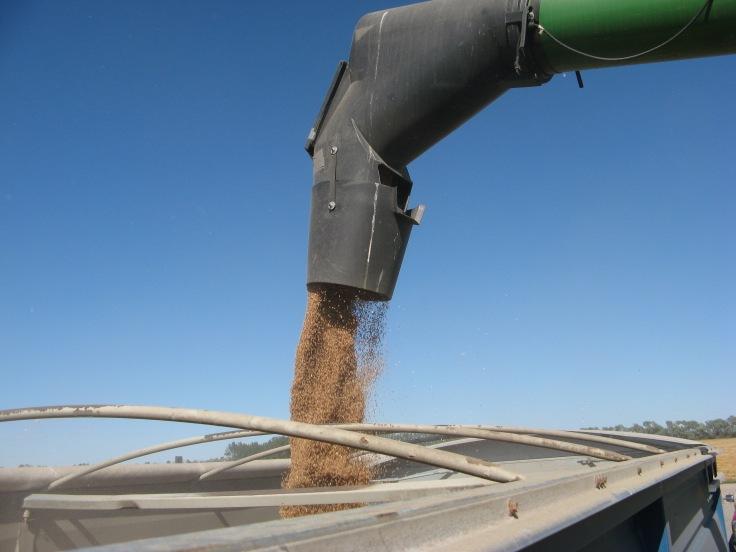 Unloading wheat.