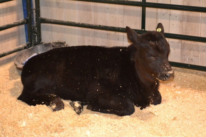 A black Angus calf. Your future dinner?