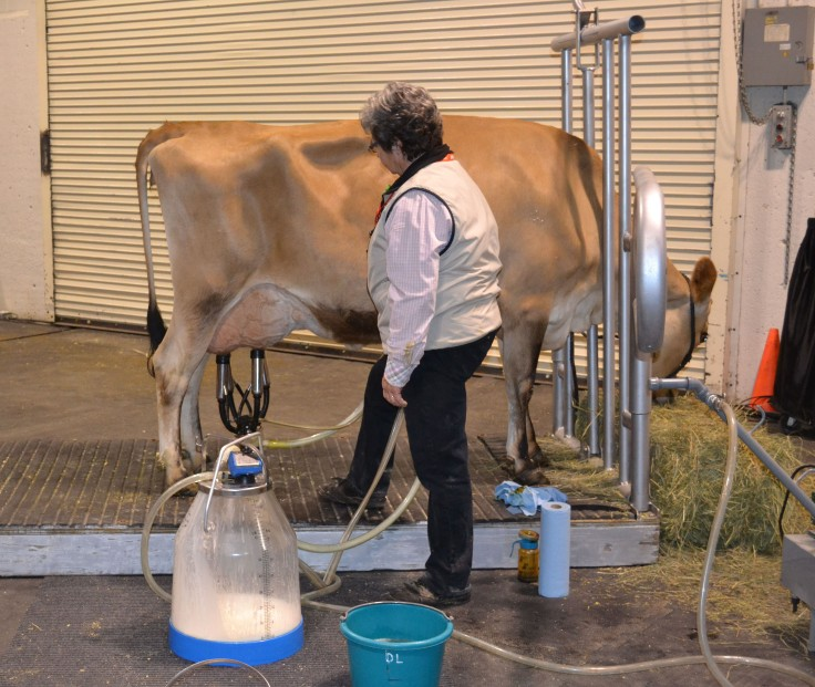 Milking a cow. This is where your milk really comes from... not the store.