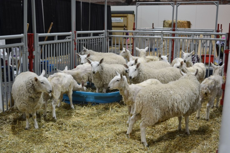 Sheep ready to be sheared.