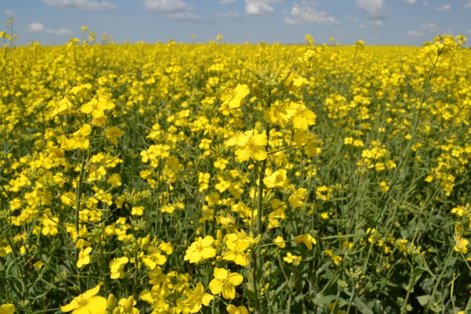 A blooming canola field.