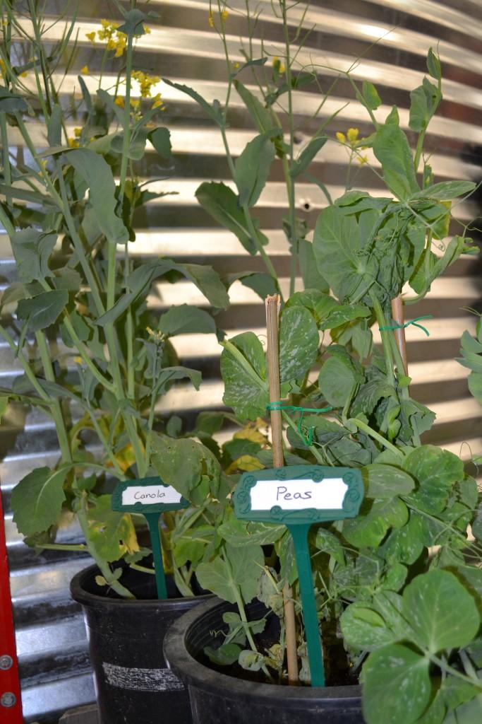 Canola and pea plants.
