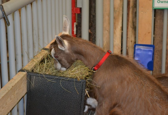 Yummy, hay! These goats are the cutest.