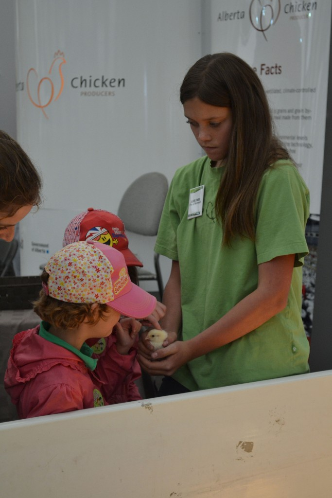 Petting a baby chick.