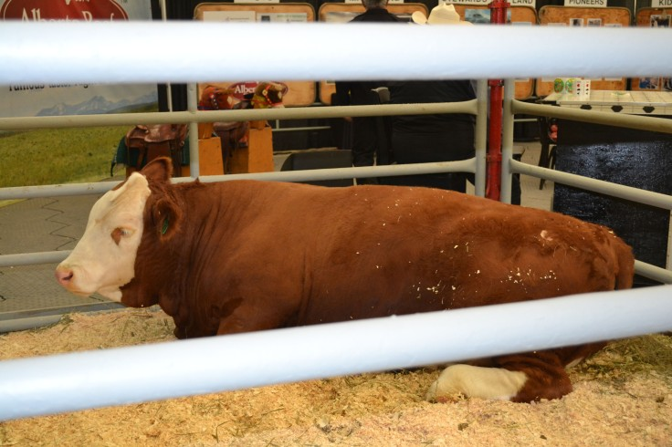 A champion steer.