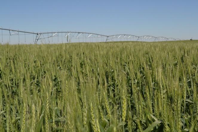 Beautiful wheat under irrigation in southern Alberta.