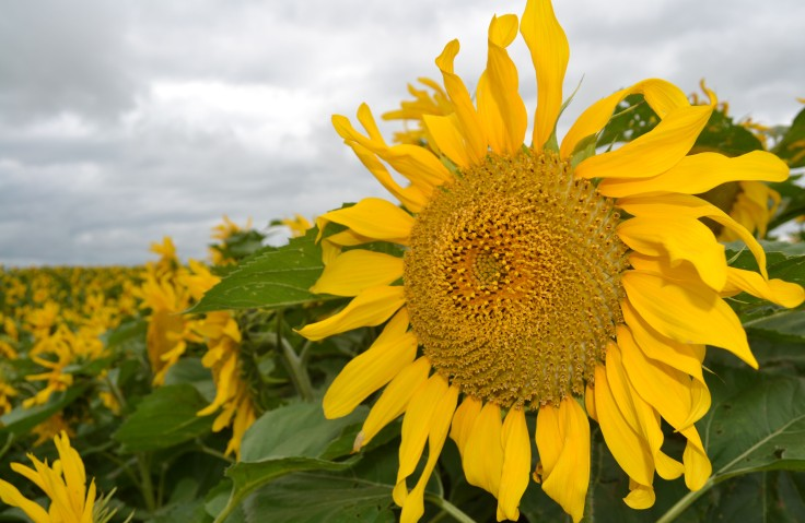 MB_sunflowers01