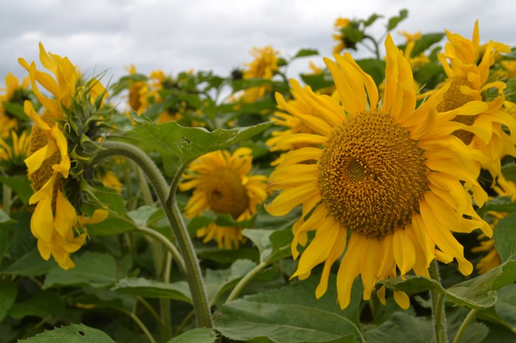 MB_sunflowers02