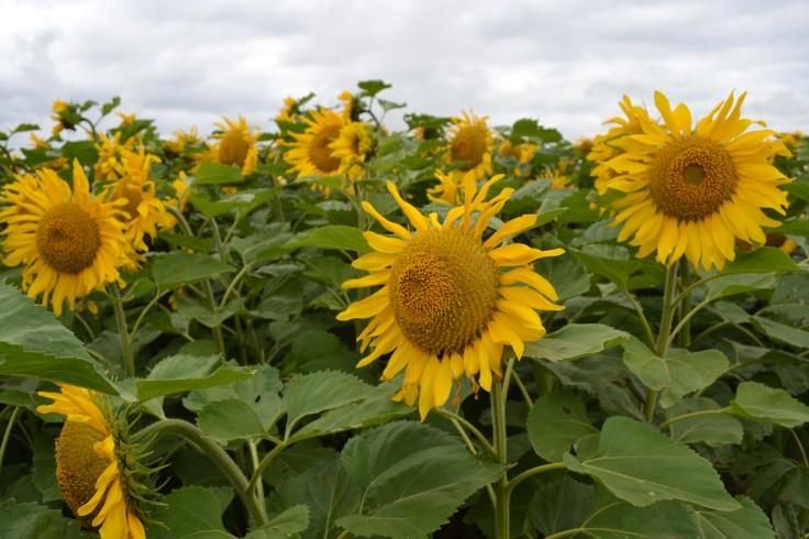 MB_sunflowers03
