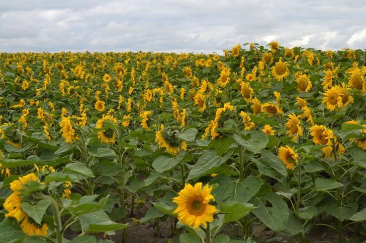 MB_sunflowers04