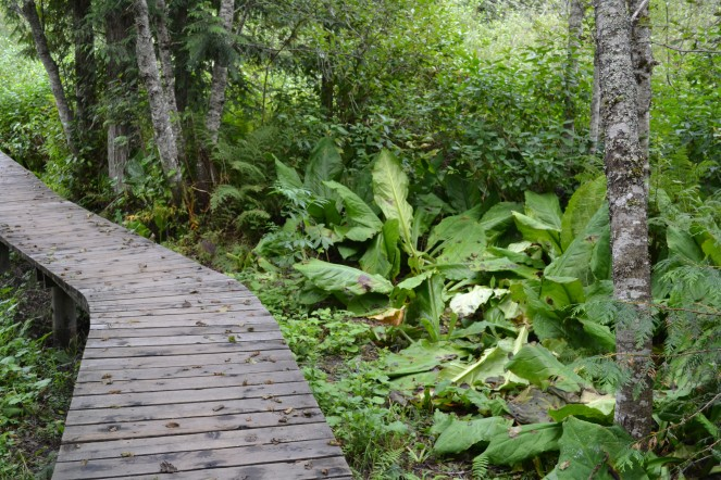 This is the skunk cabbage plant, which could be found all over the marshy environment.