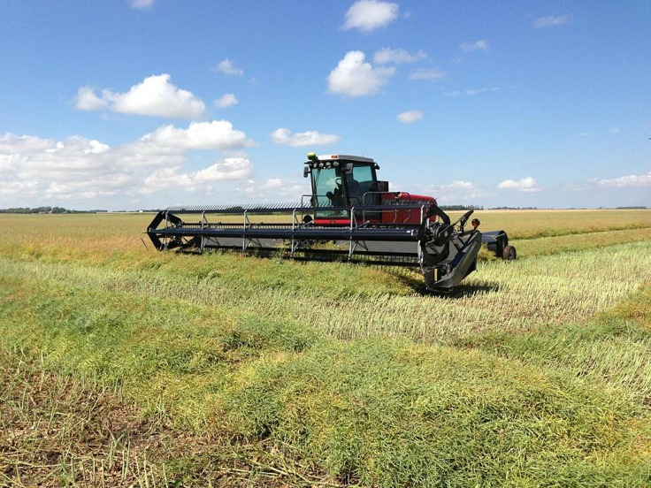 Swathing canola. After canola is swathed it will sit in the rows for awhile before it is combined.