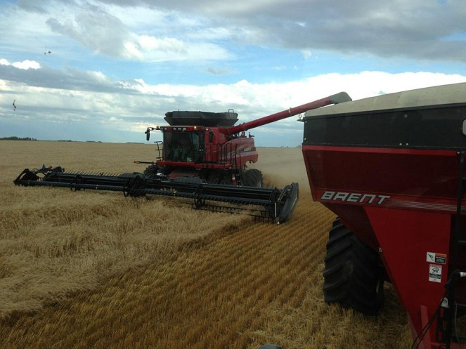 Unloading wheat into the grain cart on the field.