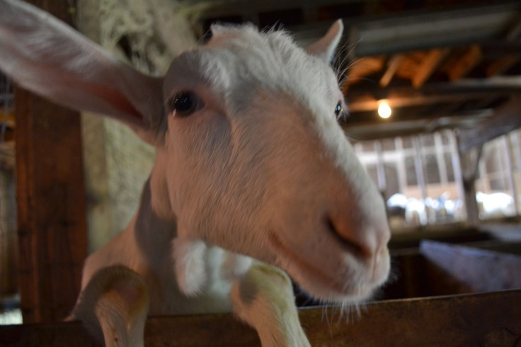This friendly goat is just saying hello!
