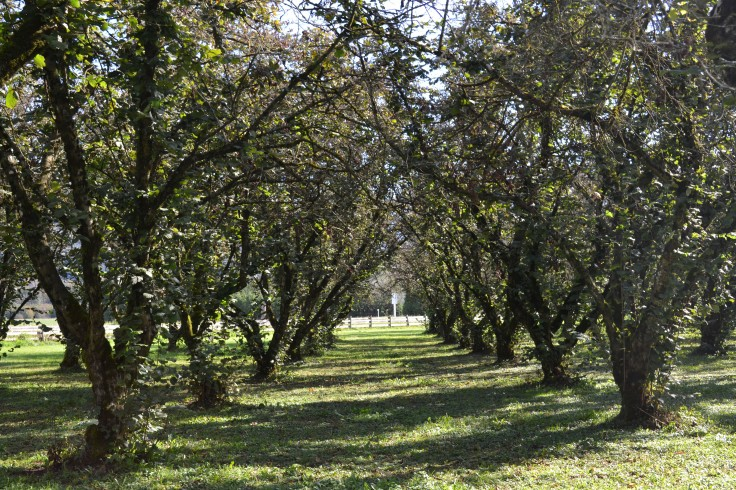 Rows and rows of hazelnut trees.