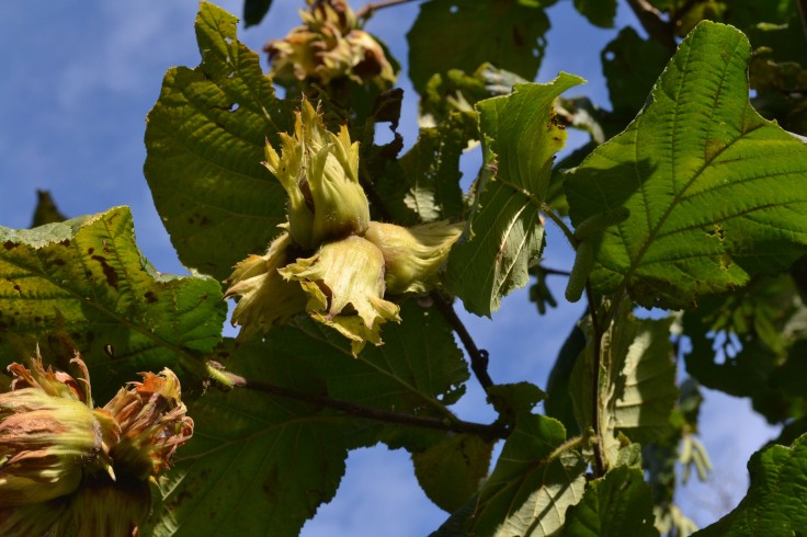 Hazelnuts on the tree.