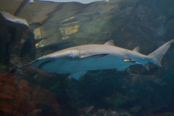 We walked through the Shark Reef at Mandalay Bay and met this bad boy. Check out his teeth!