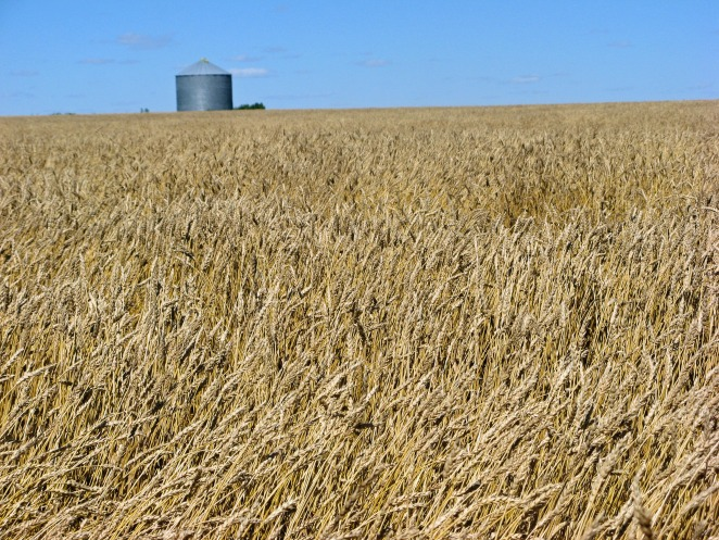 A field of wheat on the Canadian Prairies.