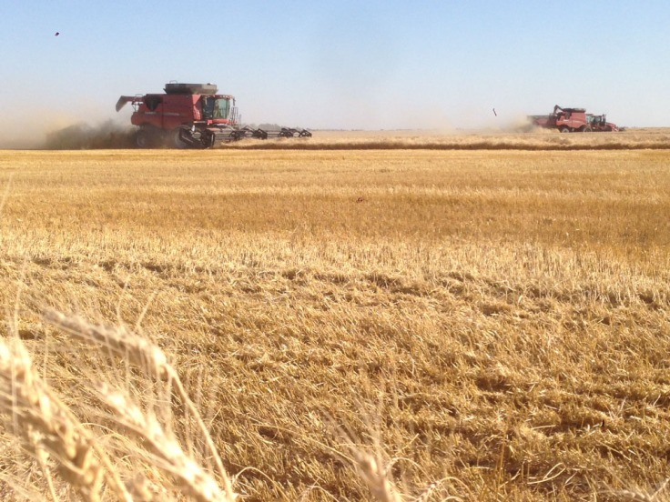 Combining spring wheat on the farm.