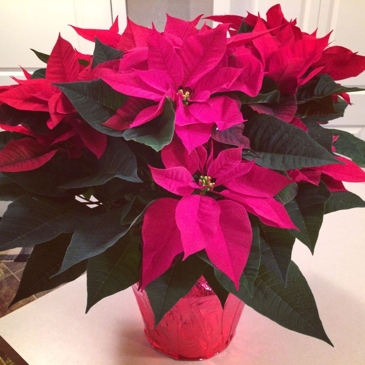 My beautiful poinsettia.