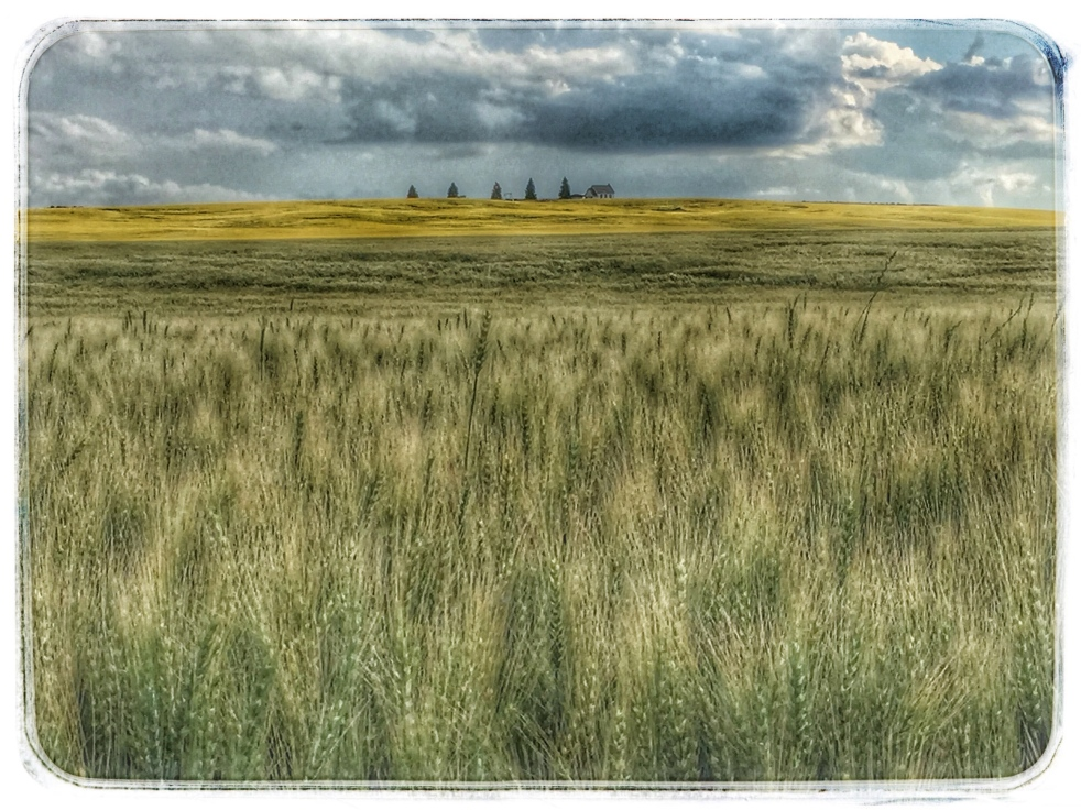 Wheat_StarMound_2016