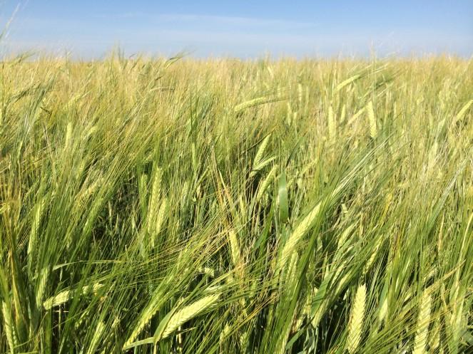 Synergy_barley
